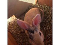 Rabbit and hatch to sale
