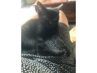 Ragdoll x kitten