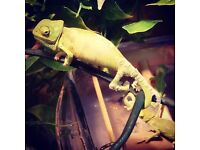 Yemen/vieled baby chameleons ready in two weeks males an females all shedding, eating an growing