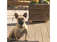 3 year old female French Bulldog for sale