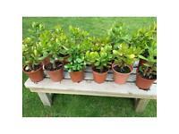 Money Plants 13cm pots