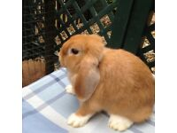 Minilop bunnies.