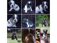 Pedigree French Bulldogs For Sale
