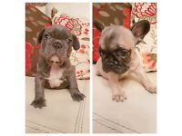 Reduced!!! KC registered French Bulldog Puppies for sale!!!