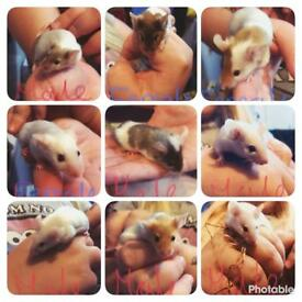Baby mice for sale 10 weeks old