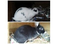 BABY ENGLISH SPOT RABBITS FOR SALE £15 FOR BOTH
