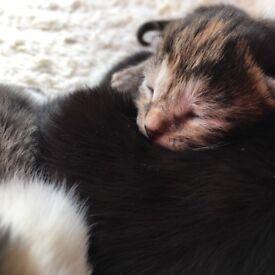 Domestic Shorthair Kittens