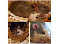 A pair of 4 months old male rats for sale