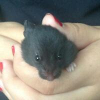 10 Adorable Baby Hamster for Sale!