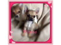 WONDERFUL TINY CHIHUAHUA GIRL PUPPY