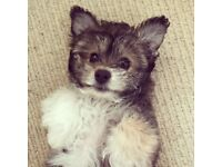 14 Week Pomeranian x Bichon Puppy
