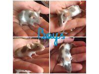 Baby male fancy mice!