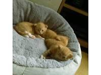 2 ginger kittens left