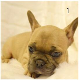 french bulldogs lilacs & quad carriers ready now 9 weeks old