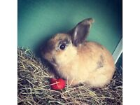 Beautiful male rabbit for sale with cage