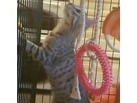 Bengal kitten(male)