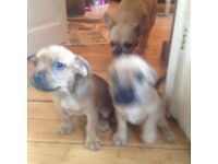 French bulldog cross puppy's for sale