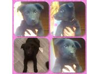 Chunky Black German Shepherd Puppies 1left READY NOW