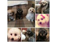 Poochon babies
