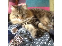 gorgous long haired tabby rehoming through no fault of her own ,owners illness forceing rehoming.