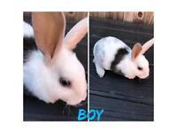 Mini rex baby rabbits