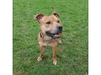 Staffy for rehoming