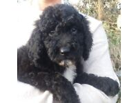 Standard Poodle Puppies Vet Checked & Ready Now