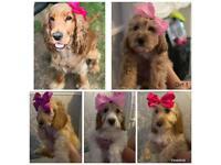 Cockapoo Puppies READY NOW !!