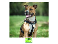 Mr. Ruben Redd - Staffordshire Bull Terrier X - 12 months old - Looking for his Forever Home