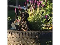 3/4 Pug Puppies /Pugalier