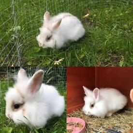 White male rabbit & hutch for sale