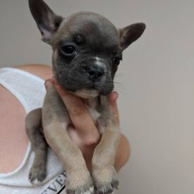 Frenchie bulldog puppies for sale.