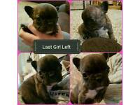 Beautiful French Bulldog Puppies For Sale Last Girl Left