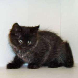 My Beautiful Black ragdoll x persian kittens [1 BOY] LEFT ONLY Geelong Geelong City Preview
