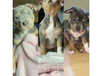 Blue nose X Lilac Tri bully puppies