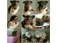 Chocolate chihuahua puppies... READY IN 2WEEKS