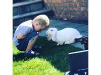 Male lop rabbits for sale