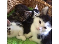 three b/w kittens for sale ready now eating wet and dry food and using litter tray