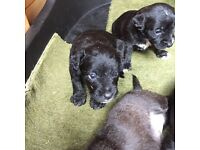 Jackerpoo puppies for sale