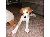Collie & Bloodhound cross
