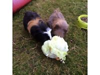 Free guinea pigs with home