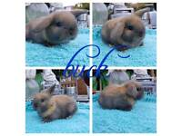 Mini lion lop babies RESERVE ONLY