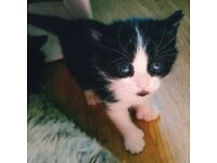 Beautiful, Sweet natured kittens for sale! Only loving forever homes acceptable!