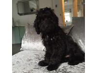 Black Cockapoo Puppy