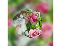 Beautiful bsh x kittens re