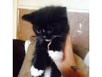 Beautiful fluffy black kitten