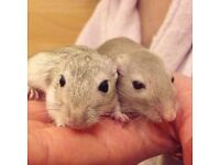 2 gerbils with cage and accessories