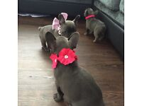 Blue French bulldog puppies kc registered ready for new homes