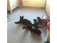 Playfull kittens 8 weeks Old looking for lovely house