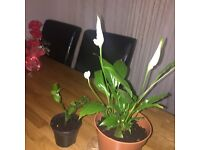 Peace lily and Christmas cuactuse